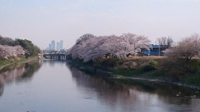 愛知県 五条川の桜_1