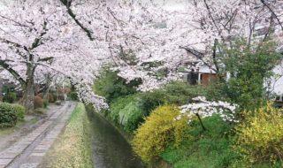 京都 「哲学の道」の桜