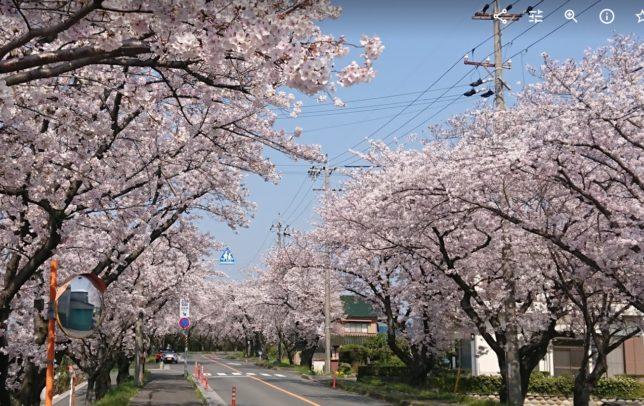 愛知県 海津市の桜