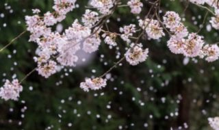 散る桜 残る桜も 散る桜